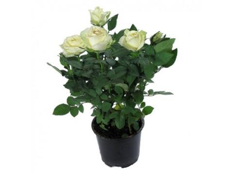 Роза Патио Белая, , 1500 р., Rosa_patio_belay, , Горшечные растения