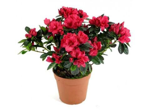 Азалия индика красная, , 1100 р., azalia_red, , Горшечные растения
