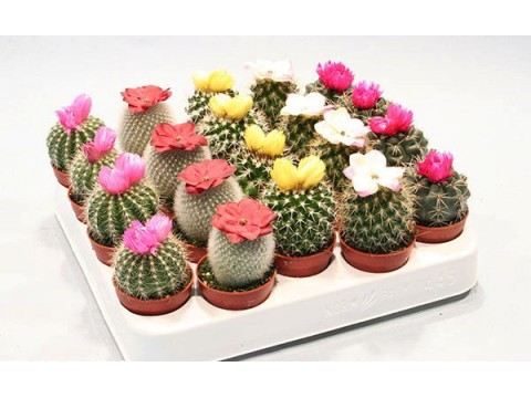 Кактус микс, , 540 р., kaktus_miks, , Горшечные растения