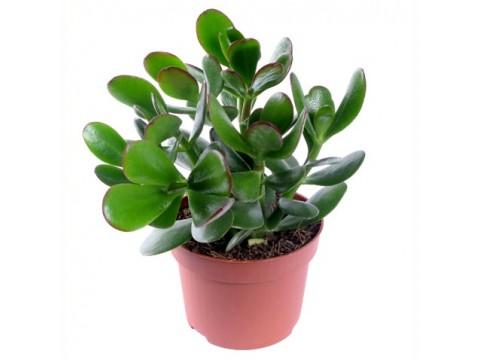 Крассула, , 650 р., krassula, , Горшечные растения