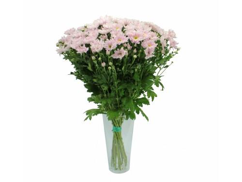 Кустовая розовая хризантема