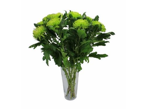 Хризантема одноголовая зеленая