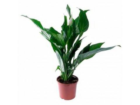 Спатифиллум Купидо, , 2100 р., spatifillum_kupida, , Горшечные растения